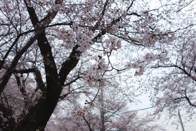 さくら-2.JPG