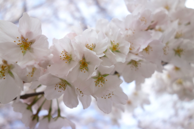桜0003.JPG