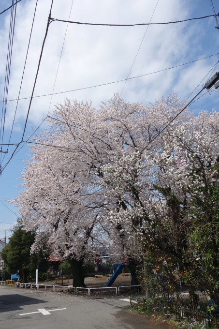 桜0007.JPG
