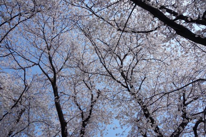 桜0009.JPG