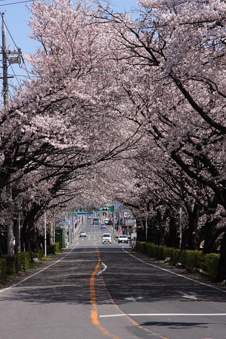 桜1-1.JPG