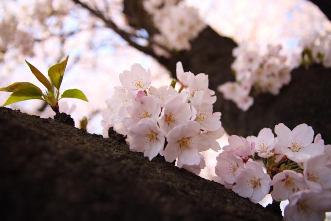 桜1-6.JPG
