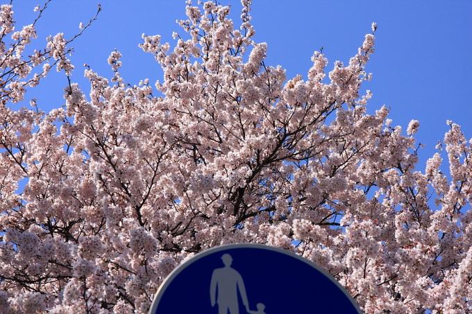 桜1-7.JPG