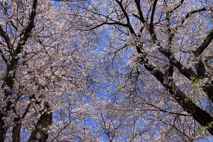 桜2-8.JPG