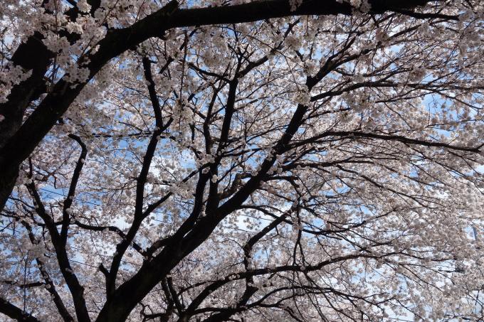 桜0005.JPG