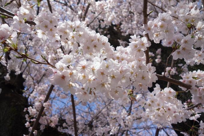 桜0008.JPG