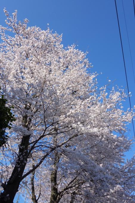 桜0010.JPG