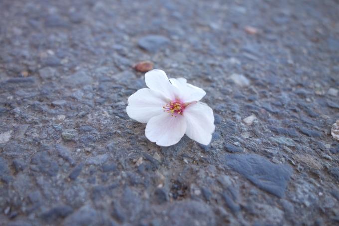 桜0011.JPG